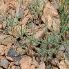 PetrosimoniaSibirica2.jpg 1067 x 800 px 568.97 kB