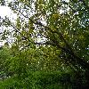 PetteriaRamentacea2.jpg 1208 x 906 px 454.53 kB