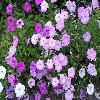 Petunia2.jpg 1024 x 768 px 206.87 kB