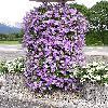 Petunia8.jpg 576 x 768 px 181.1 kB