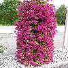 Petunia9.jpg 576 x 768 px 171.4 kB