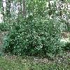 PhiladelphusCoronarius2.jpg 1024 x 768 px 343.02 kB