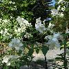 PhiladelphusCoronarius4.jpg 720 x 960 px 407.78 kB