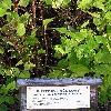 PhiladelphusCoronariusAureus2.jpg 576 x 768 px 141.06 kB