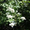 PhiladelphusLewisii2.jpg 681 x 908 px 297.11 kB