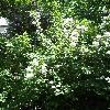 PhiladelphusLewisii.jpg 681 x 908 px 426.13 kB