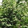 PhiladelphusTenuifolius2.jpg 720 x 960 px 536.56 kB
