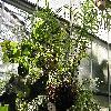 PhlebodiumAureum.jpg 1024 x 768 px 270.38 kB