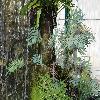 PhlebodiumPseudoaureum.jpg 1024 x 768 px 257.89 kB