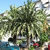 PhoenixCanariensis16.jpg 1110 x 833 px 322.25 kB