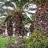 PhoenixCanariensis6.jpg 576 x 768 px 189.81 kB