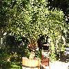 PhoenixCanariensis9.jpg 1024 x 768 px 305.79 kB