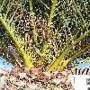PhoenixCanariensis.jpg 576 x 768 px 194.5 kB