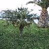 PhoenixRoebelenii11.jpg 616 x 821 px 159.16 kB