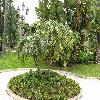 PhoenixRoebelenii13.jpg 1110 x 833 px 282.64 kB