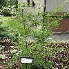 PhotiniaParvifolia.jpg 630 x 840 px 186.42 kB