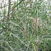 PhragmitesAustralis2.jpg 1127 x 845 px 233.12 kB