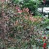 PhyllanthusAngustifolius2.jpg 720 x 960 px 560.38 kB