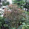 PhyllanthusAngustifolius.jpg 720 x 960 px 523.87 kB