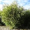 PhyllostachysBissetii.jpg 720 x 960 px 499.69 kB
