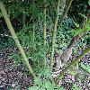 PhyllostachysHeterocycla2.jpg 681 x 908 px 412.45 kB