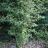 PhyllostachysHeterocycla.jpg 681 x 908 px 482.98 kB