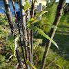 PhyllostachysNigra6.jpg 681 x 908 px 149.17 kB