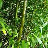 PhyllostachysNuda3.jpg 720 x 960 px 486.08 kB