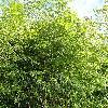 PhyllostachysNuda.jpg 720 x 960 px 589.32 kB