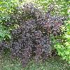 PhysocarpusOpulifolius5.jpg 681 x 908 px 492.2 kB