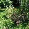 PhysocarpusOpulifolius6.jpg 1127 x 845 px 320 kB