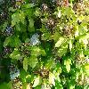 PhysocarpusOpulifoliusDartsGold2.jpg 1167 x 875 px 301.6 kB