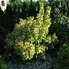 PhysocarpusOpulifoliusDartsGold.jpg 1167 x 875 px 340.17 kB