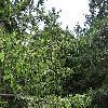 PiceaAbies5.jpg 1219 x 914 px 440.55 kB
