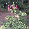 PiceaAbiesAcrocona2.jpg 1024 x 768 px 196.7 kB
