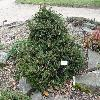 PiceaAbiesAcroconaNana.jpg 1024 x 768 px 308.62 kB