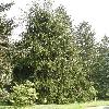 PiceaAbiesCranstonii.jpg 630 x 840 px 186.63 kB