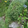 PiceaAbiesFormanek2.jpg 1024 x 768 px 332.87 kB