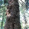 PiceaAbiesMammilosa.jpg 720 x 960 px 512.19 kB
