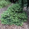 PiceaAbiesNidiformis.jpg 1204 x 903 px 480.25 kB