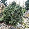 PiceaAbiesOhlendorfii.jpg 1024 x 768 px 301.63 kB
