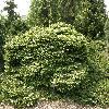 PiceaAbiesRepens.jpg 1120 x 840 px 330.75 kB