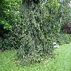 PiceaAbiesRothenhaus2.jpg 1167 x 875 px 396.17 kB
