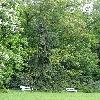 PiceaAbiesRothenhaus.jpg 681 x 908 px 267.89 kB