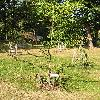 PiceaAbiesVirgata2.jpg 576 x 768 px 184.97 kB