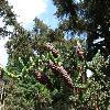 PiceaAlcoquiana3.jpg 1024 x 768 px 251.32 kB