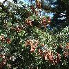PiceaAlcoquiana4.jpg 681 x 908 px 498.89 kB