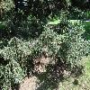 PiceaAlcoquiana5.jpg 1024 x 768 px 338.36 kB