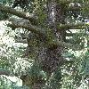 PiceaAlcoquiana6.jpg 681 x 908 px 449.51 kB