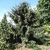 PiceaBreweriana3.jpg 681 x 908 px 461.44 kB